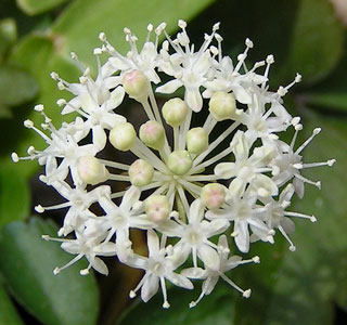 Женьшень цветов